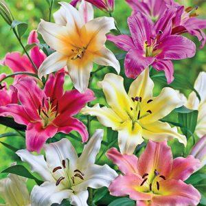 Subtle Energy & Lilies